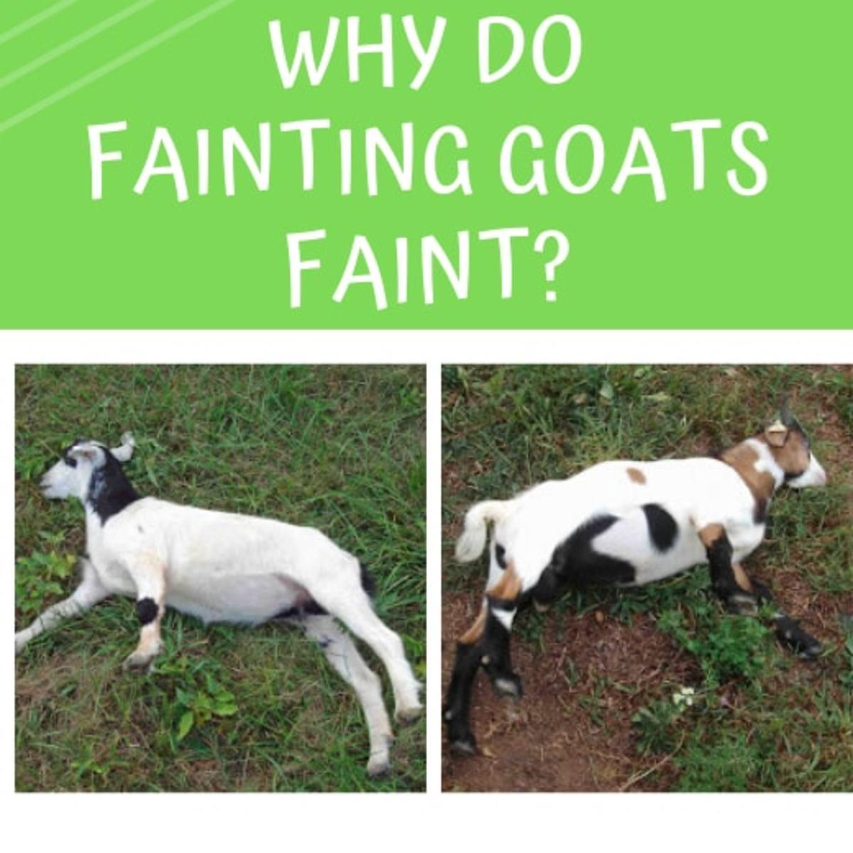 Fainting Goats: Why Do They Faint?