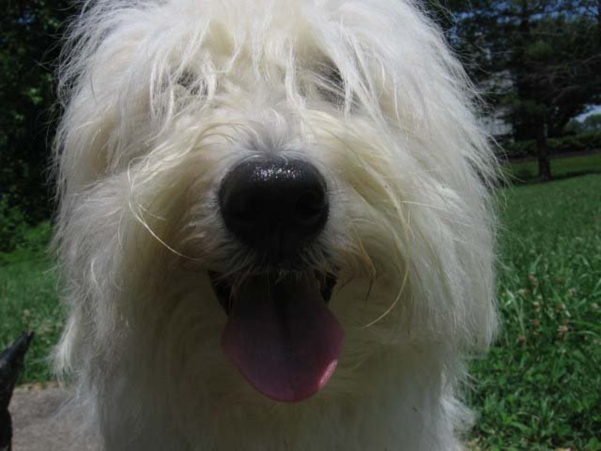 The Coton De Tulear and His Intelligence, Temperament, and Personality