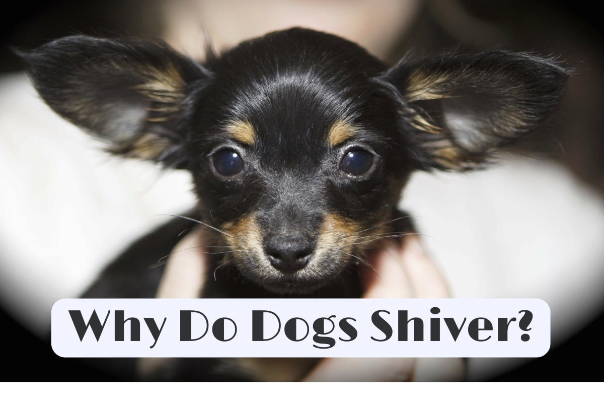 The Causes of Shivering in Dogs