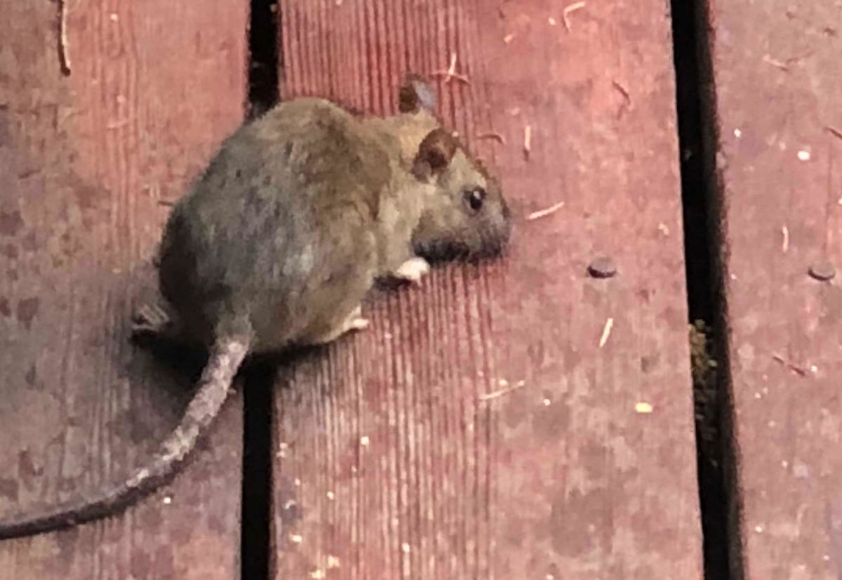 A rat on our Bay Area deck.