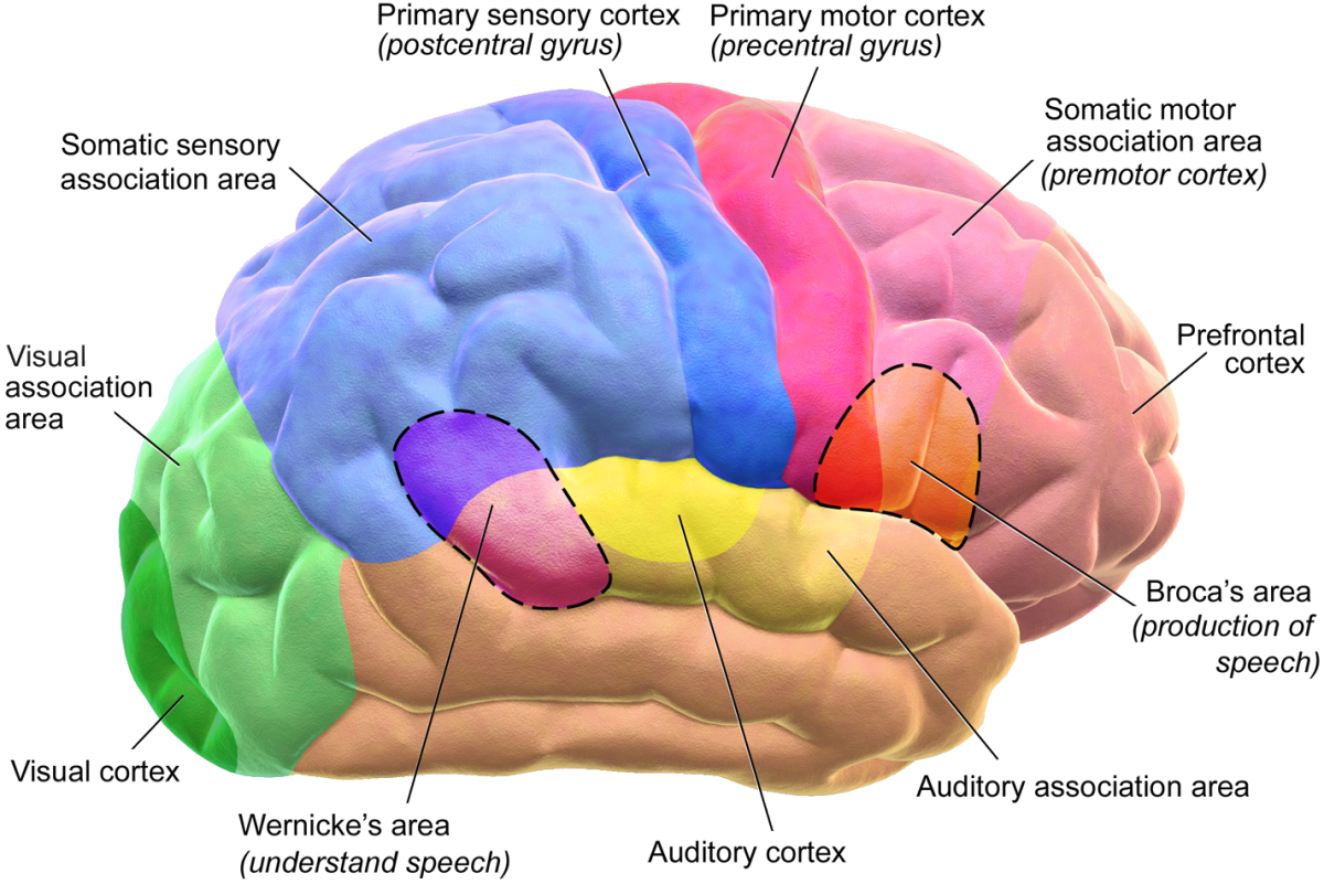 Motor and Sensory Regions of the Cerebral Cortex