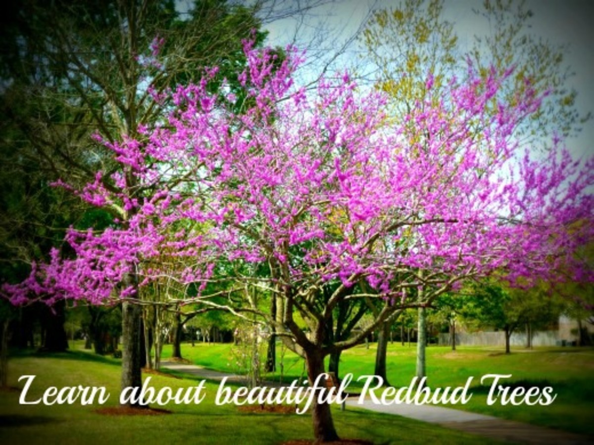 Redbud tree in our subdivision greenbelt area