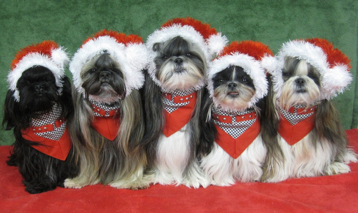 The Shih Tzu's dressed up for Christmas.