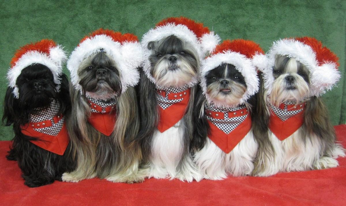 Shih Tzu Dog Costume Photos Including Merry Christmas Cards