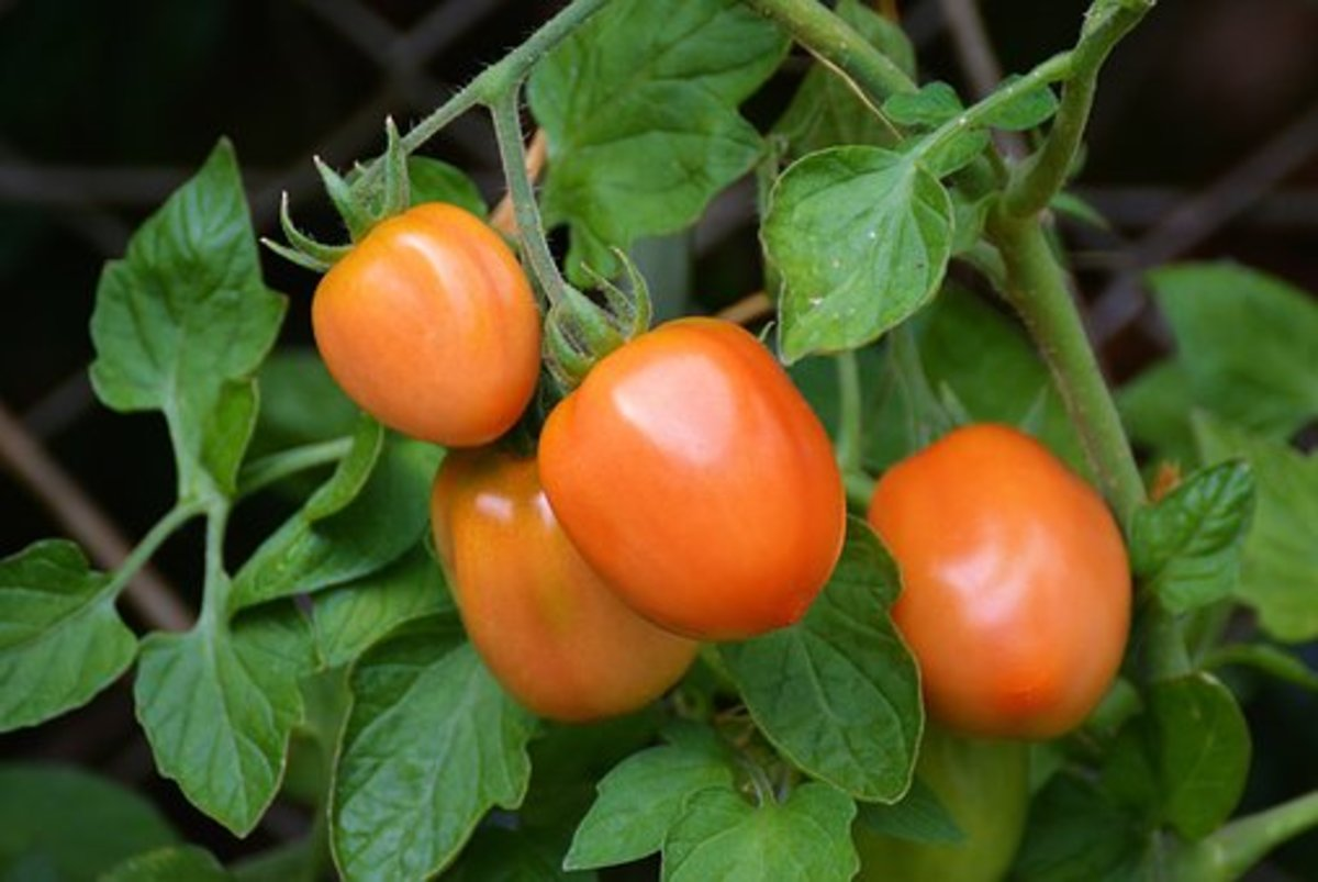 Growing Tomatoes in Containers: A Small Space Bumper Crop