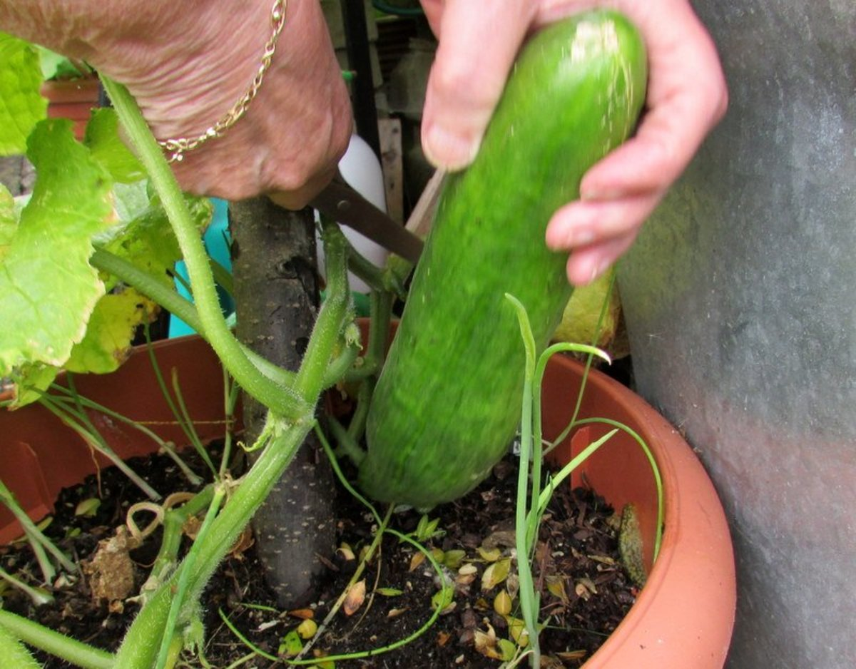 How To Grow Cucumbers In Containers In The Garden Or A Patio