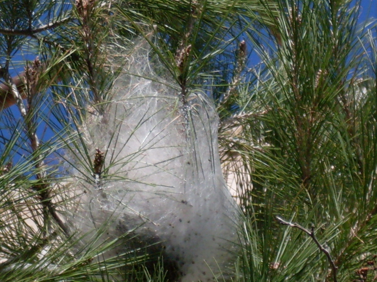 How to Get Rid of Pine Processionary Caterpillar Nests