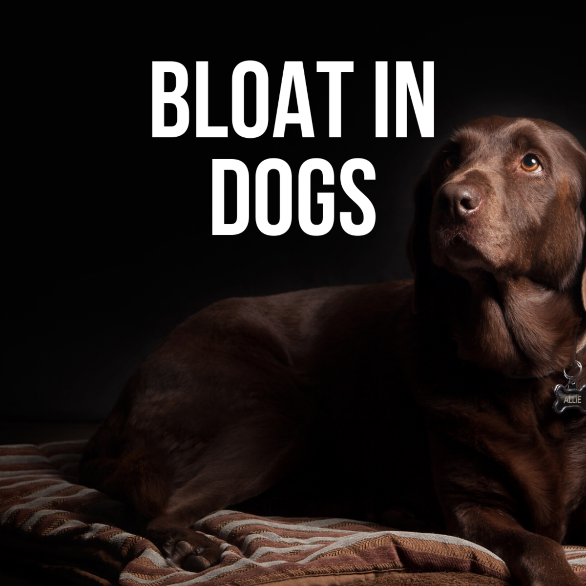 Dog Bloat: Symptoms, Causes, Treatment, and Prevention