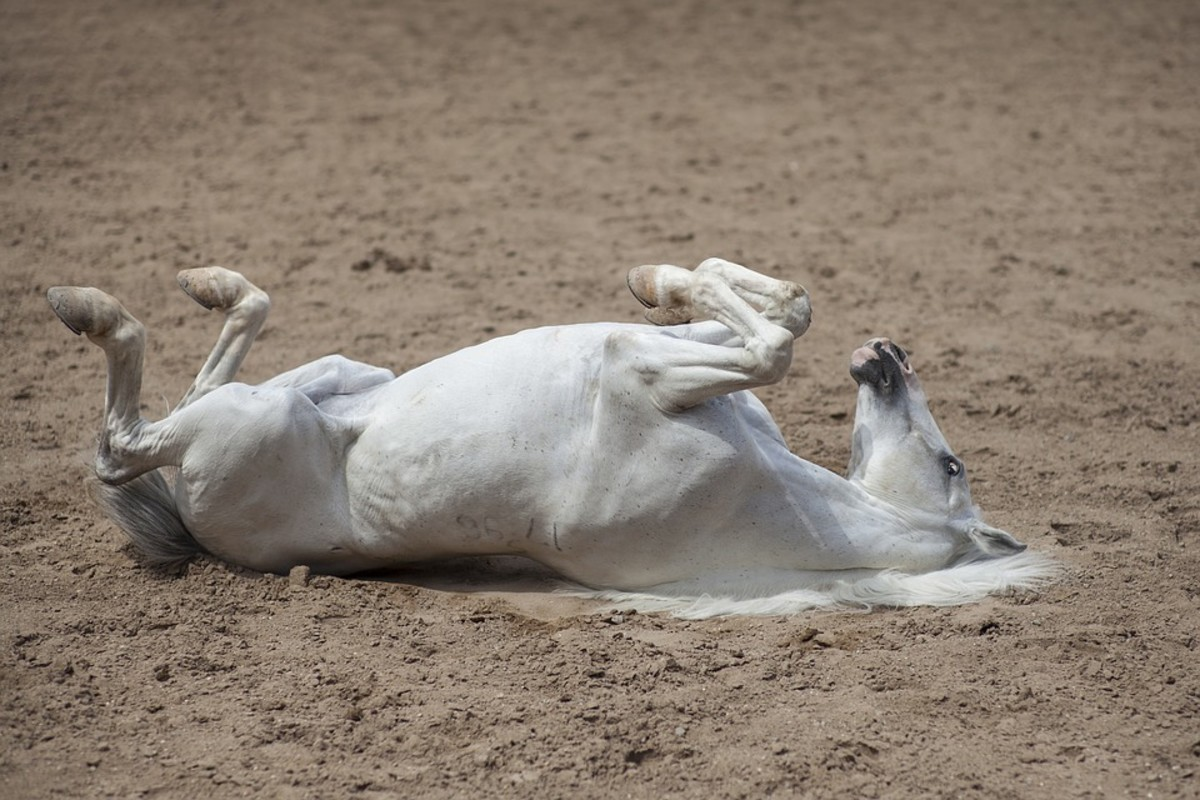 Why then do horses sleep standing up?
