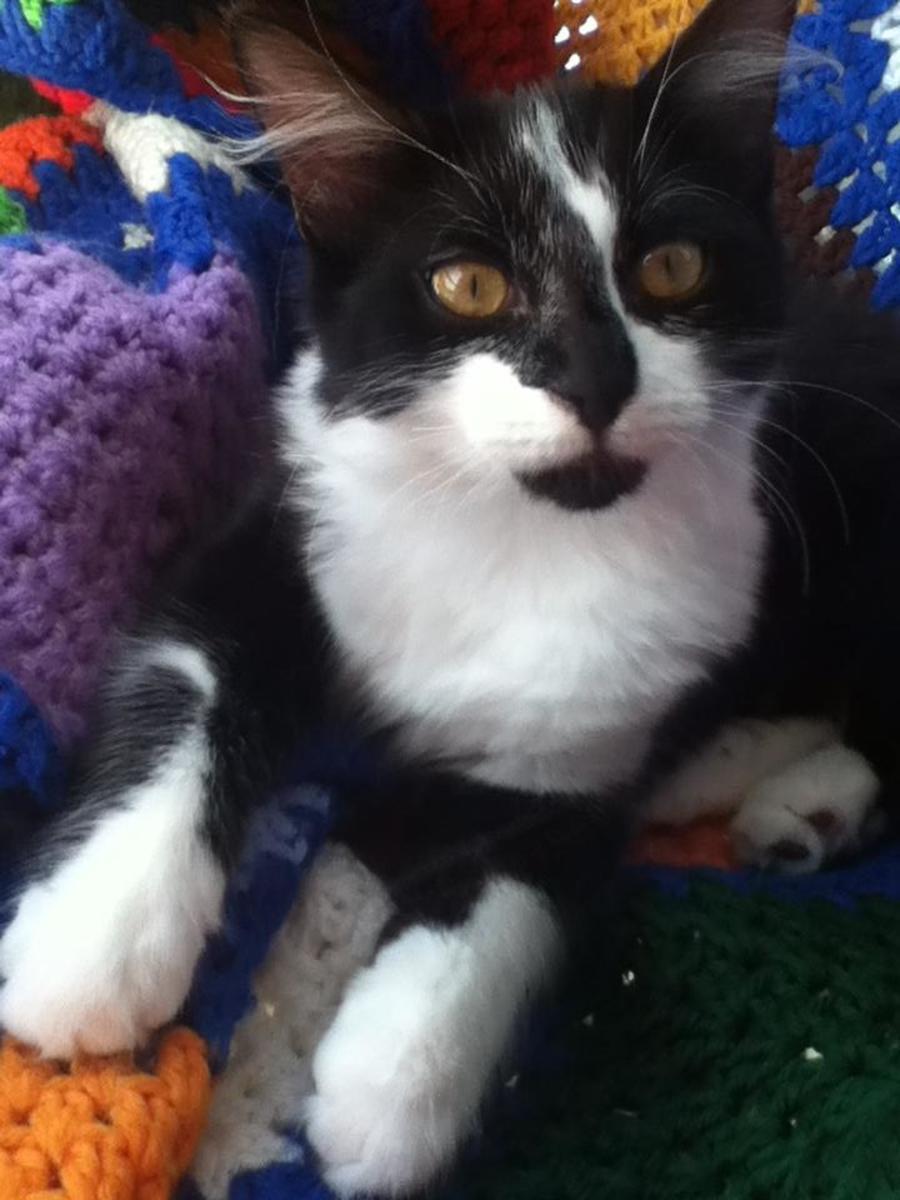 Cleo Louise Devine is a happy, healthy indoor cat.