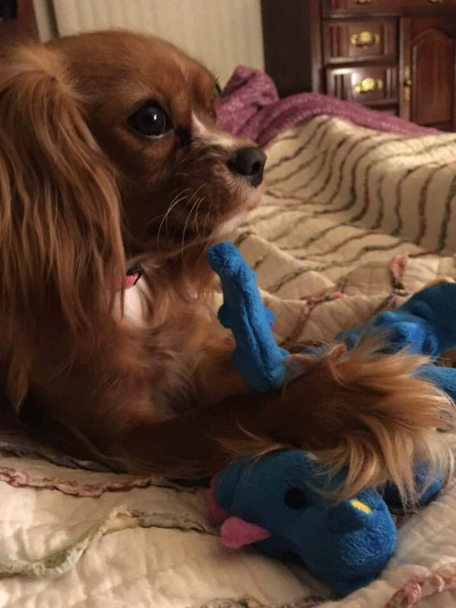 Lady relaxing in bed with her favorite chew toy.
