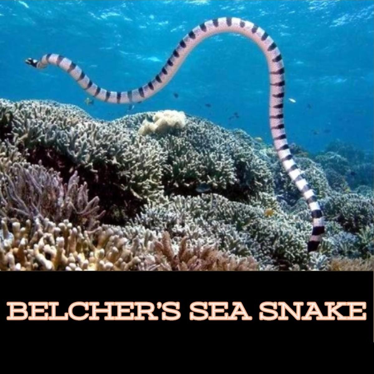 Belcher's Sea Snake.