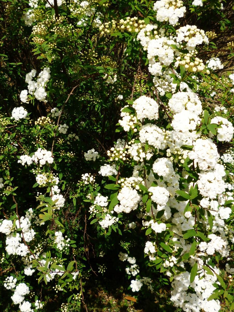 The Flowering Bridal Wreath or Spirea Bush in Garden Landscaping