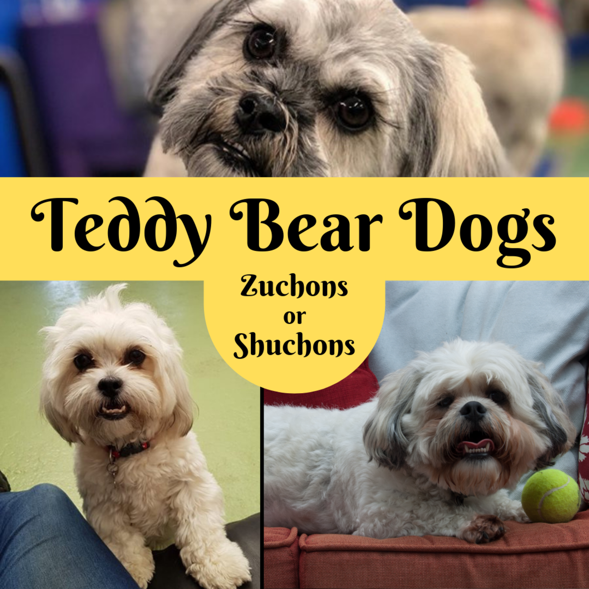 Learn about the Teddy Bear (Zuchon) dog breed, which is a mix of the Shih Tzu and the Bichon Frise.