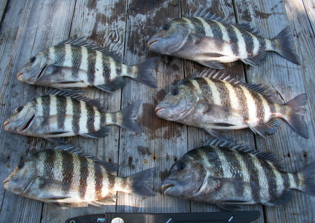 Days Catch of Sheepshead