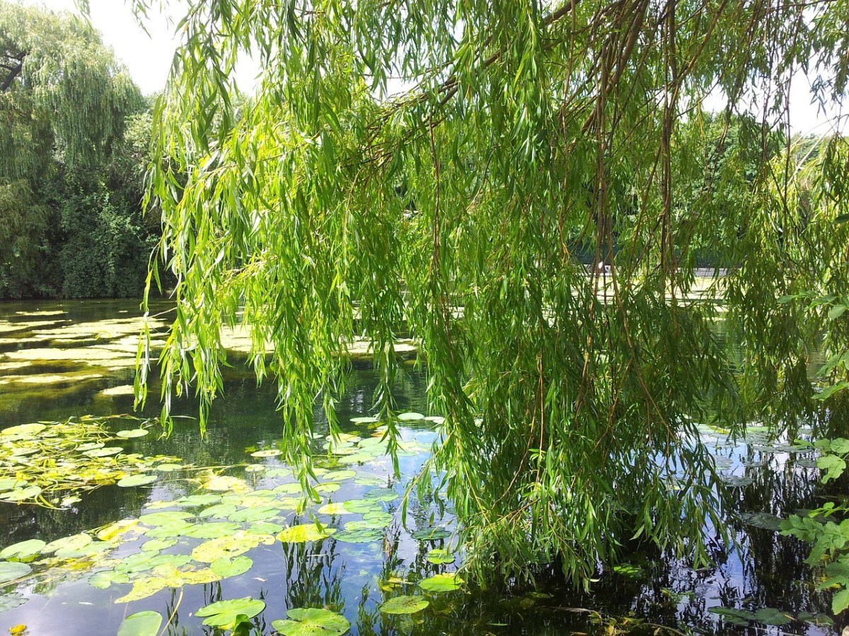 Willow trees contain salicin, which is related to aspirin.