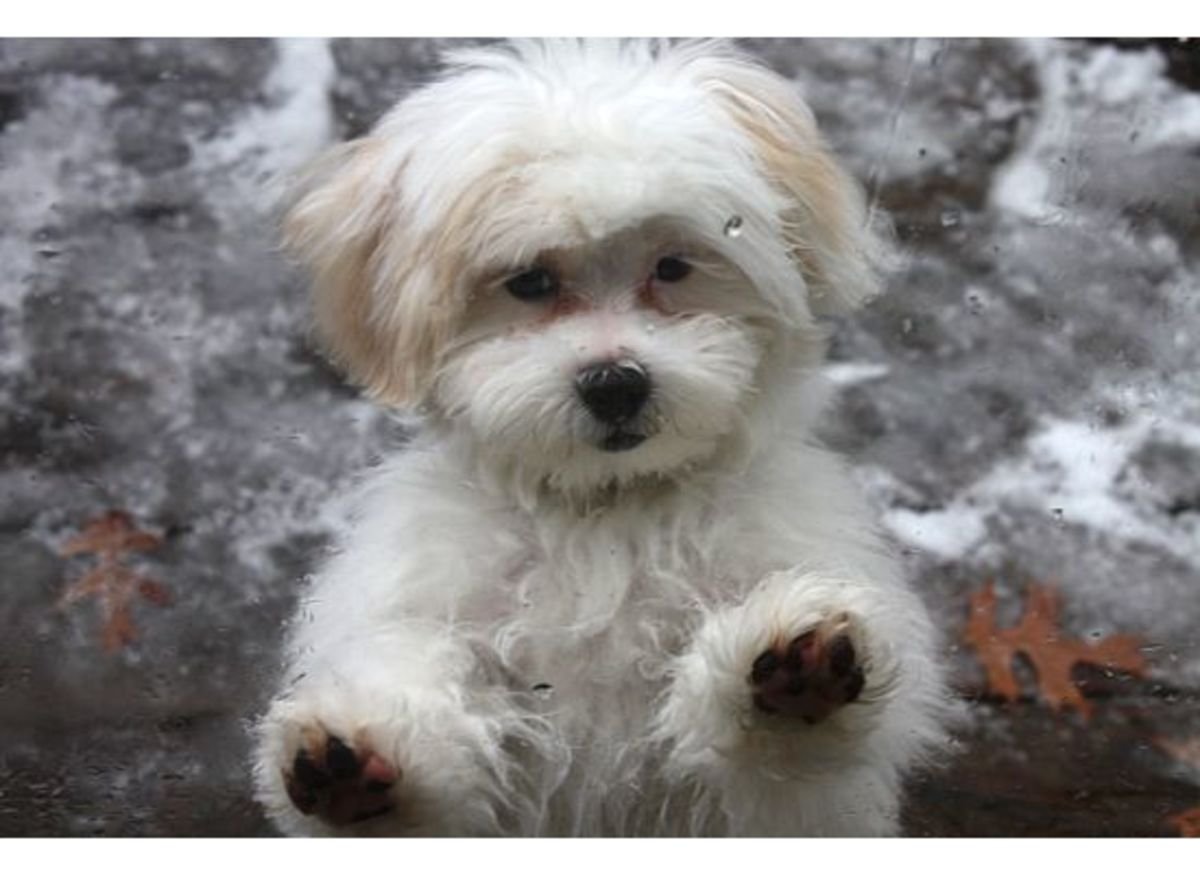 Leo, the Shi-poo puppy—a Shih Tzu/Poodle mix