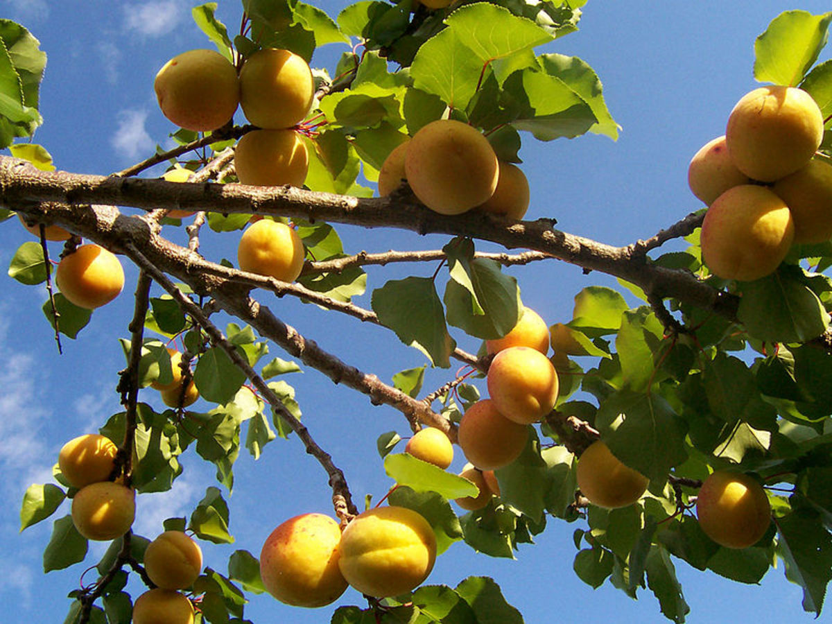 Try Growing Your Own Suitable Apricot Fruit Trees In Southwestern Regions and AZ