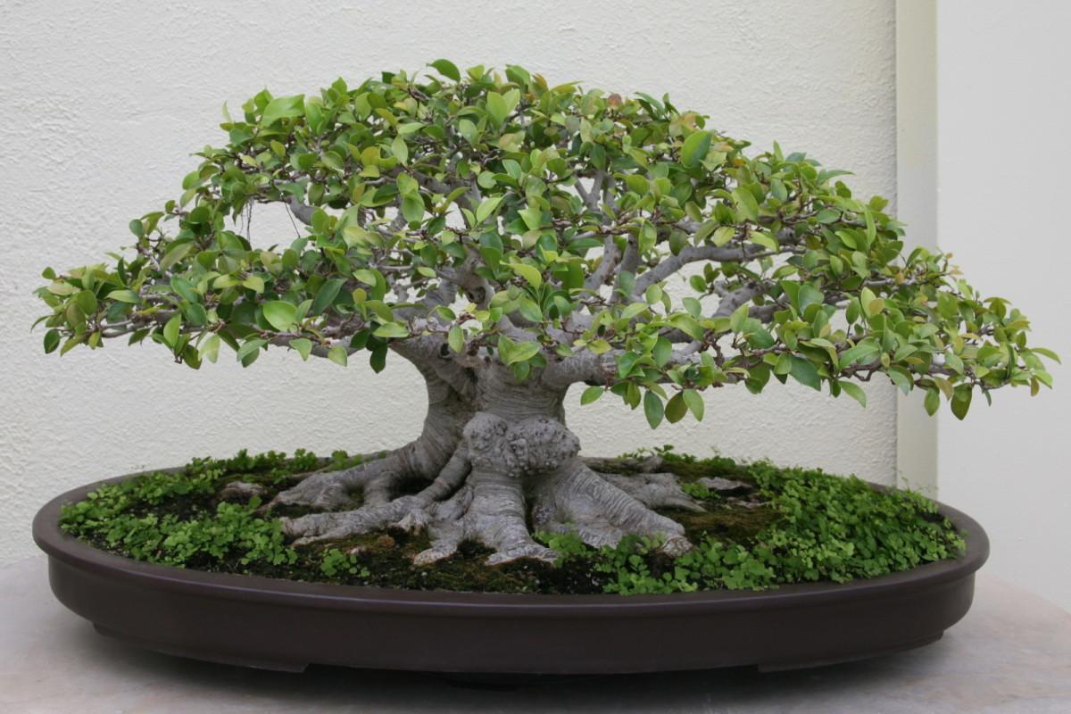 """Ficus microcarpa """"retusa,"""" or Ginseng Ficus"""
