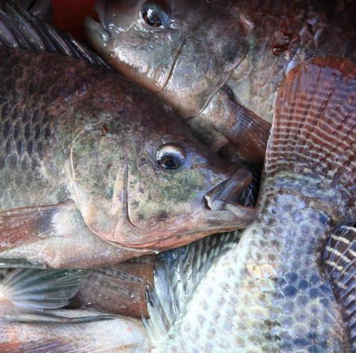 Tilapia farming in lakes cages and tanks for Tilapia swimming