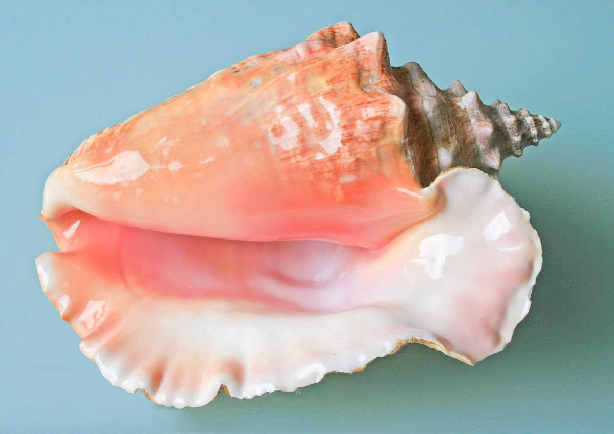 Conch Shells as Musical Instruments and in Living Sea Snails