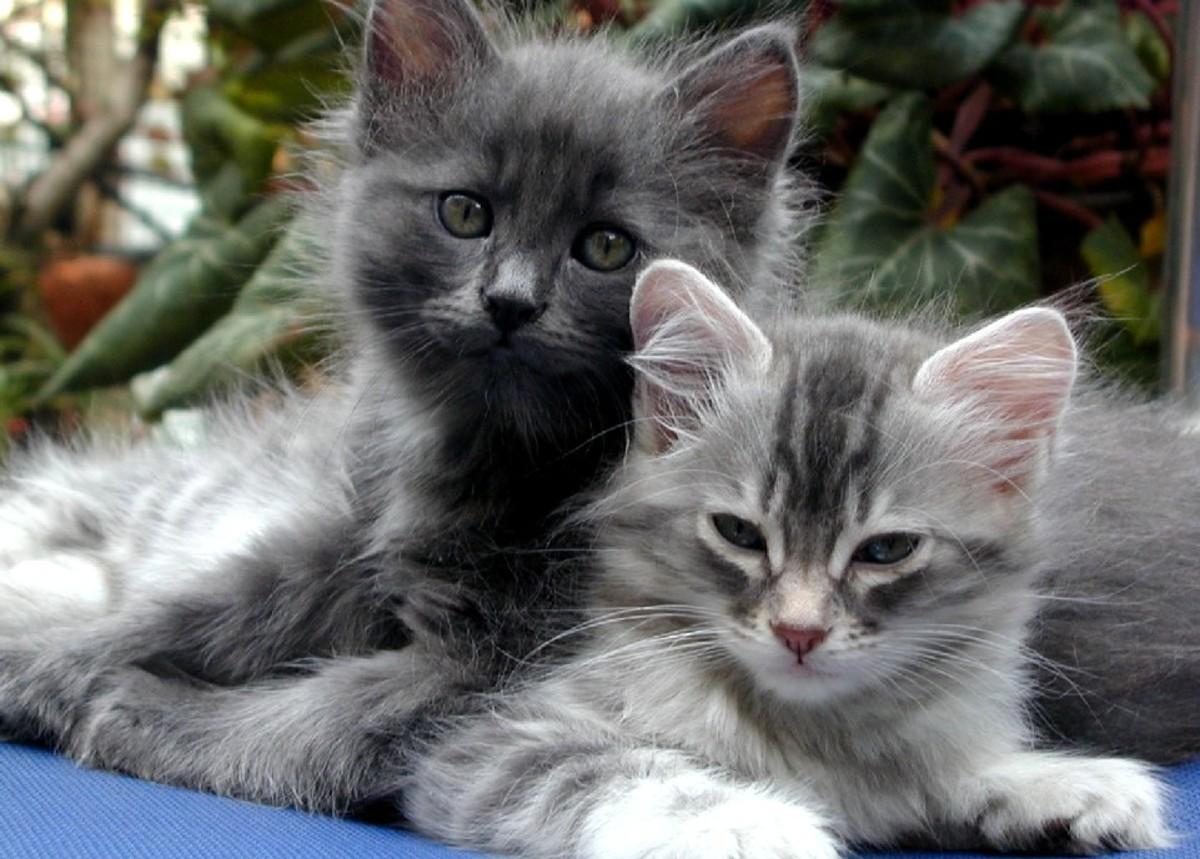 Feline Hepatic Lipidosis: Fatty Liver Disease In Cats