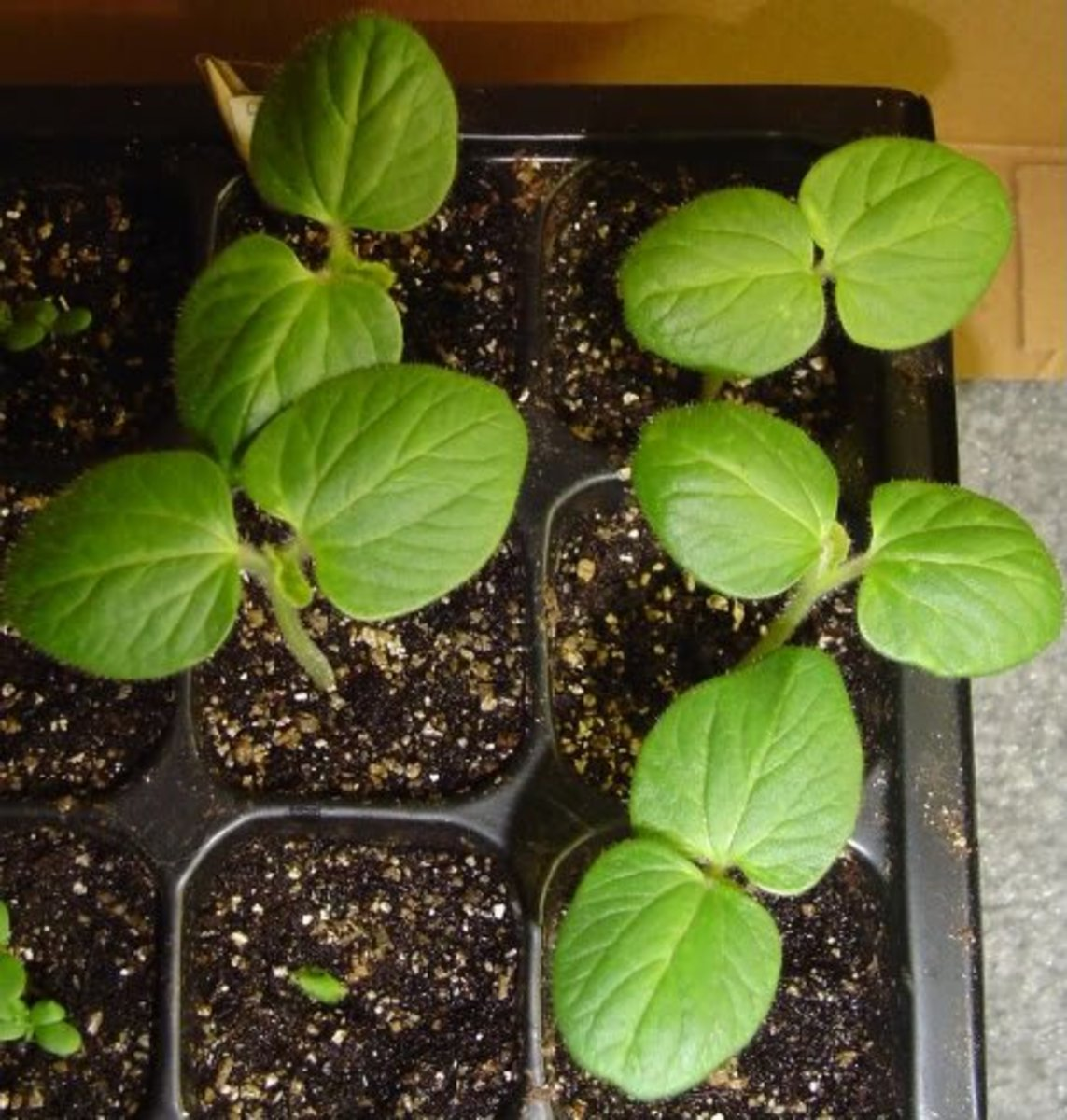 Or, you can transplant seedlings, like this okra.