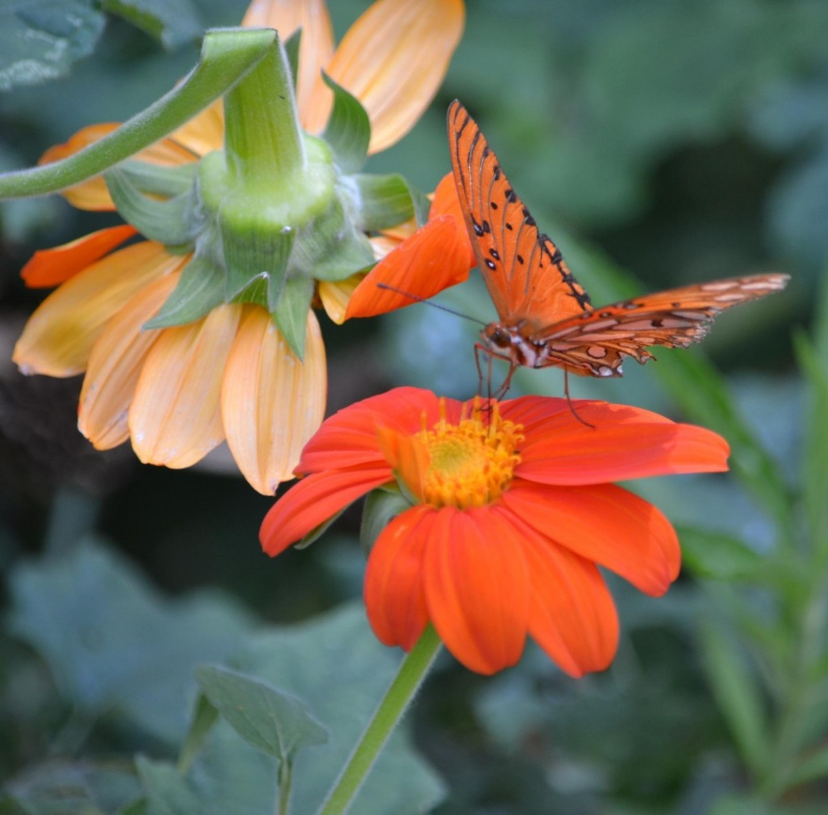 A frittillary butterfly is attracted to the bright orange and pollen-rich tithonia in my summer garden.