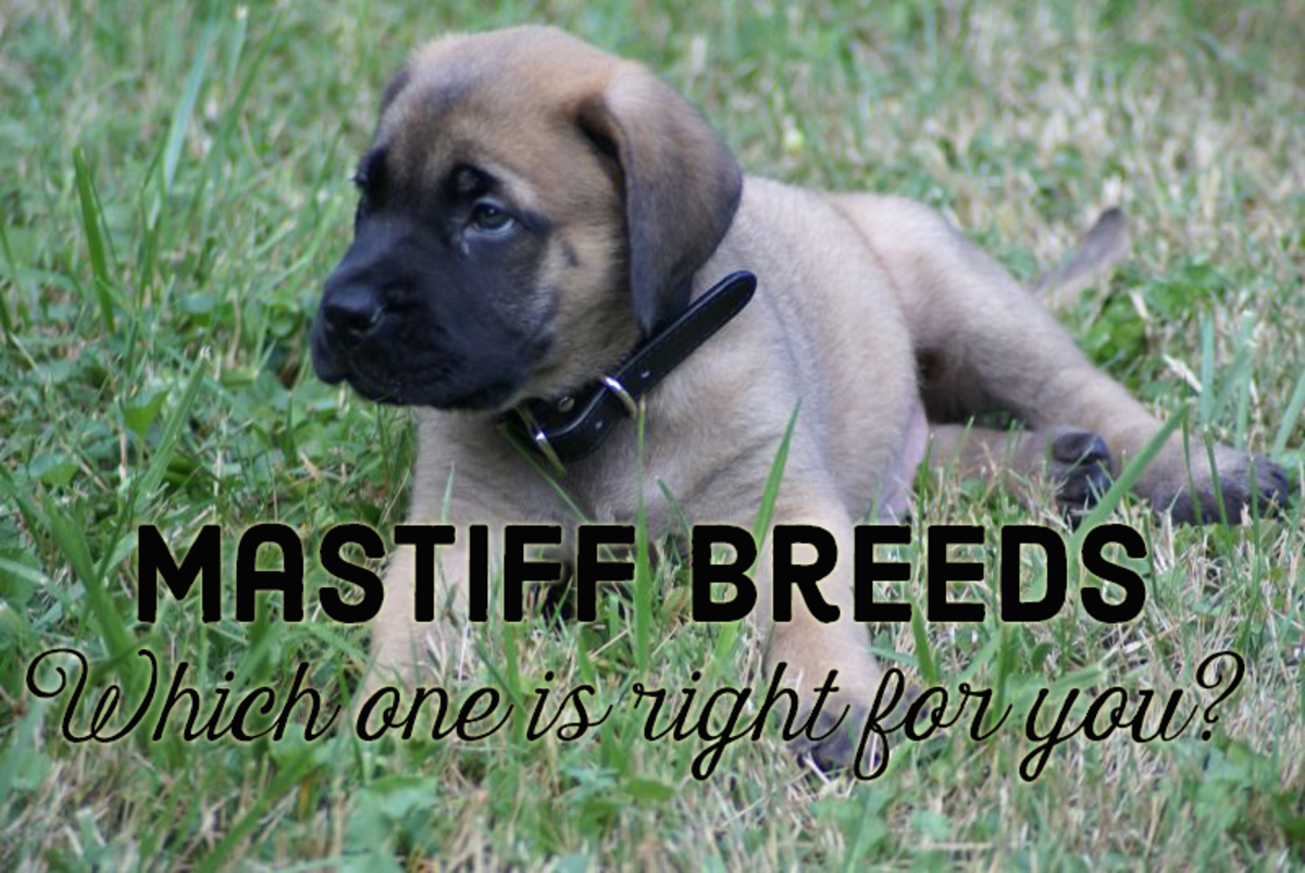 What Are the Different Types of Mastiff Breeds, and Which Is Best for Me?