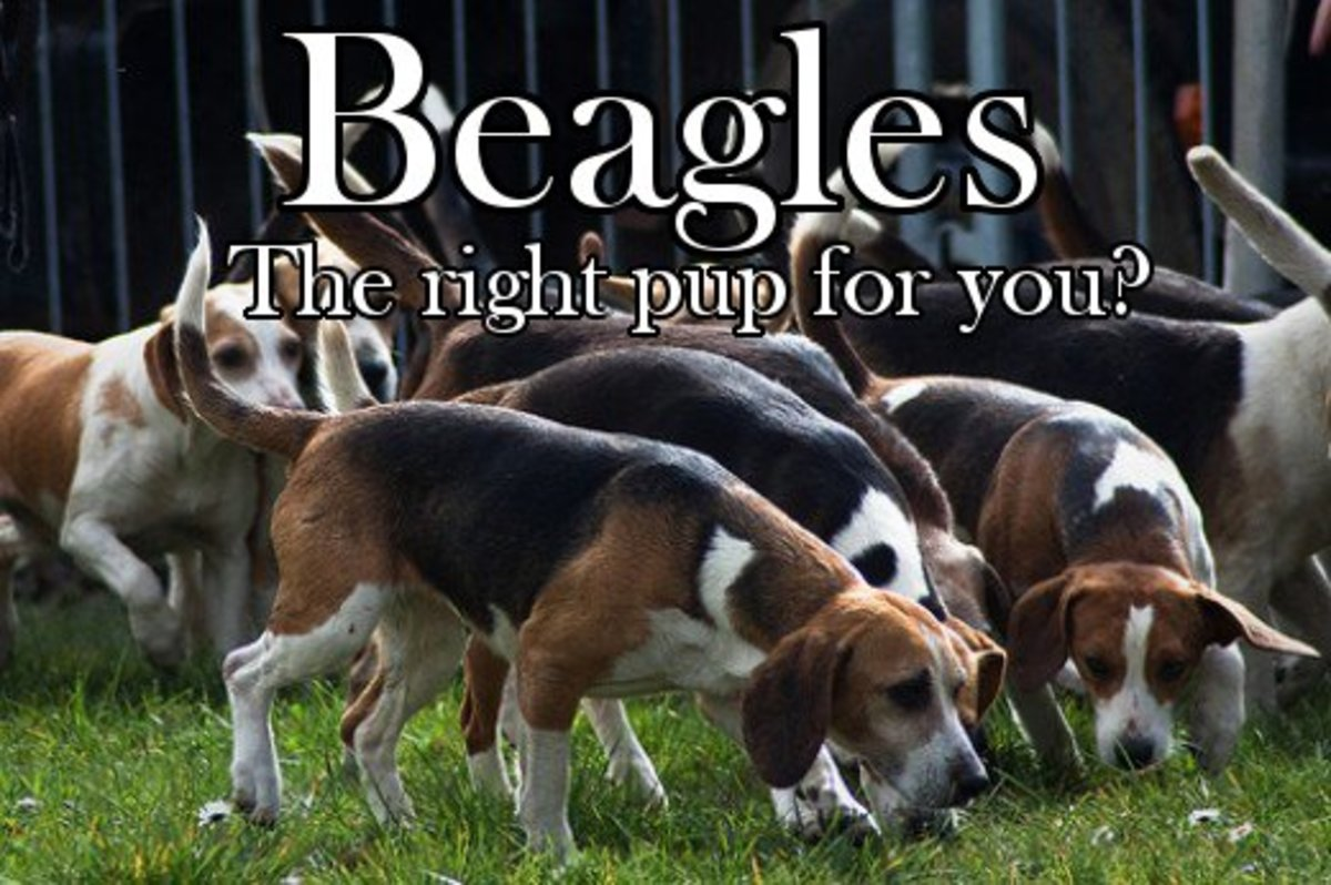 Beagles Hunting Dog Or Family Pet Hubpages