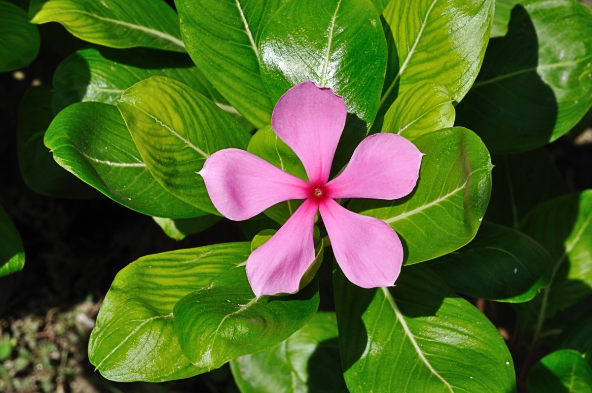 The Madagascar periwinkle contains chemicals that are used in chemotherapy to fight cancer.