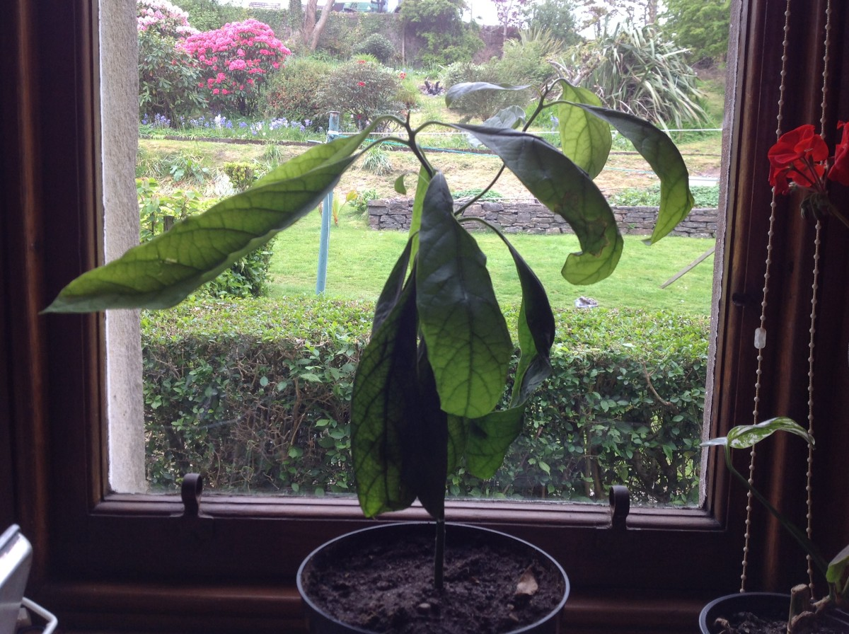 How to Grow an Avocado Plant from Seed