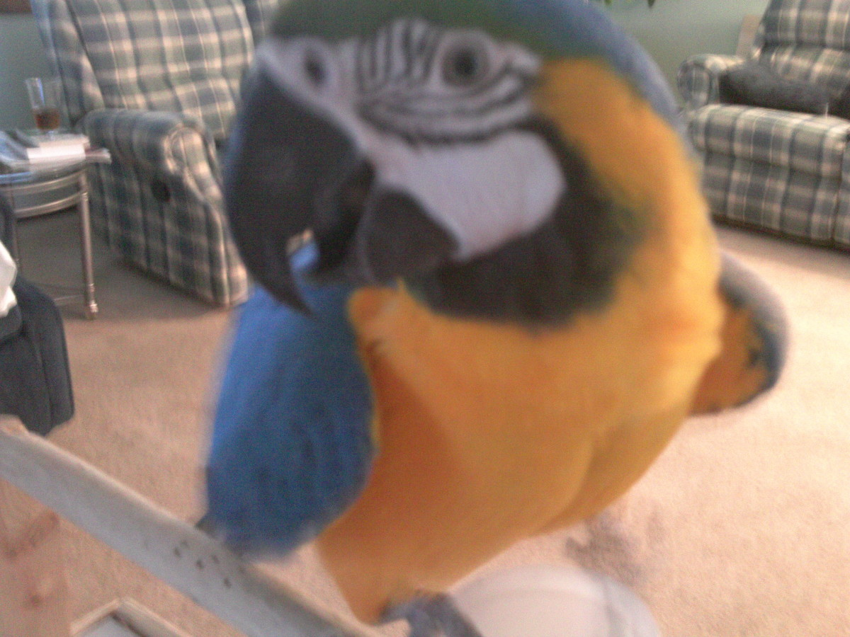 Should I Buy a Macaw or an African Grey?