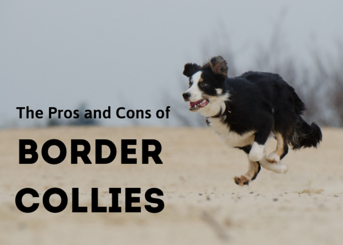 If you're considering a border collie as a pet, discover some of the advantages and drawbacks of this remarkable breed.
