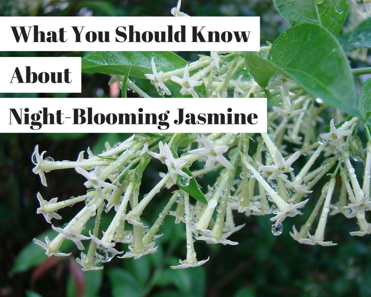 Things To Know About The Night Blooming Jasmine Cestrum Nocturnum
