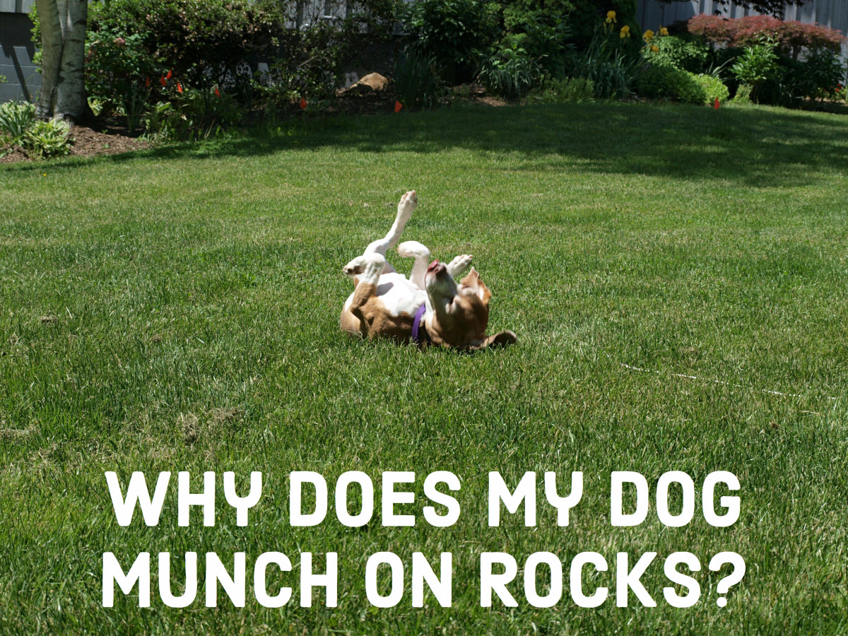 Can Dogs Chew Rocks