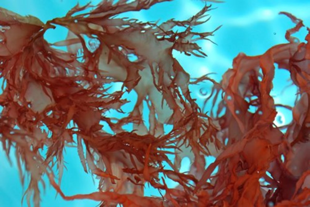 What Is Dulse, and What Are the Benefits of Eating It?