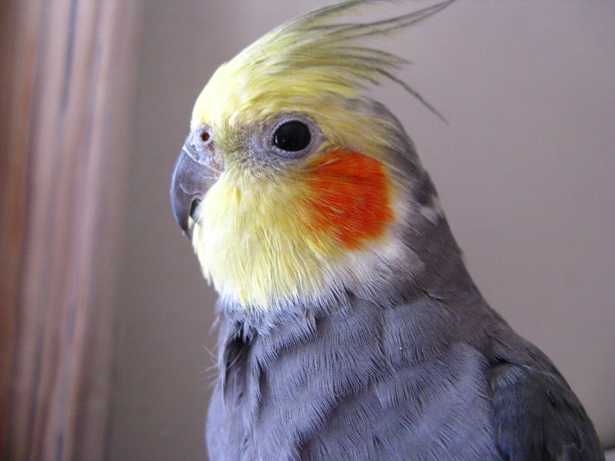 What sex talks better for cockatiels