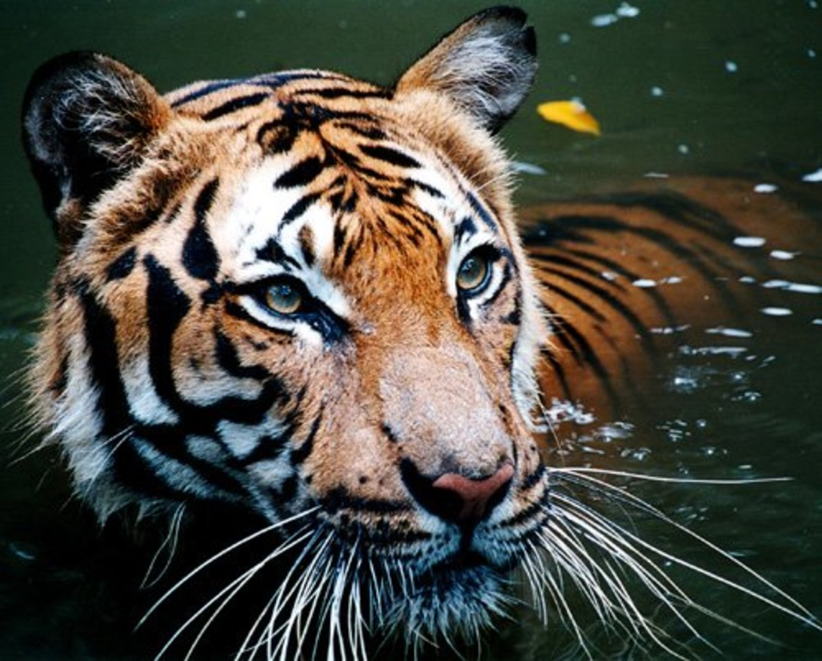 Best Places in the World to See Wild Tigers