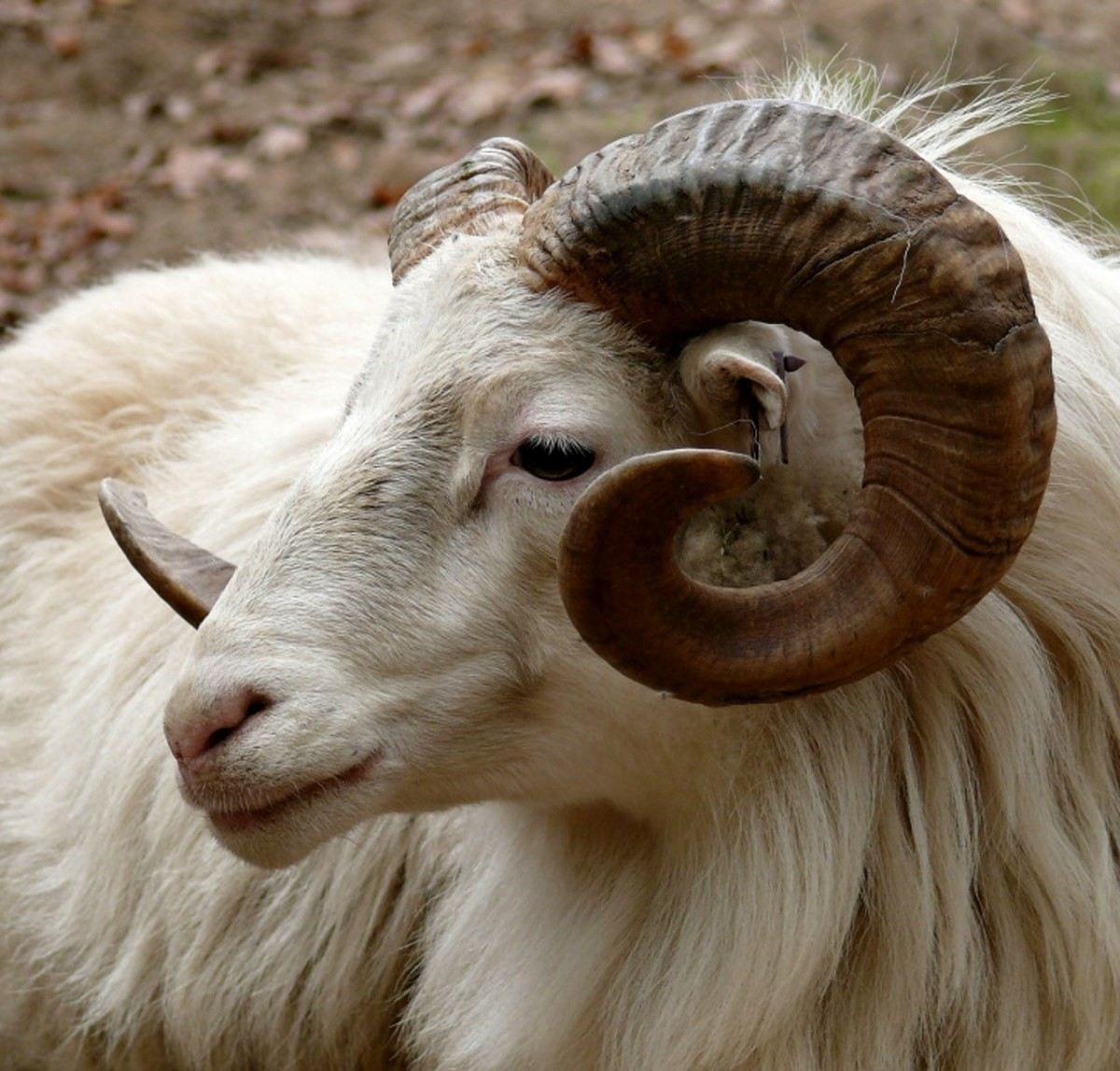 Advantages Of Using Natural Wool Fiber From Sheep Goats