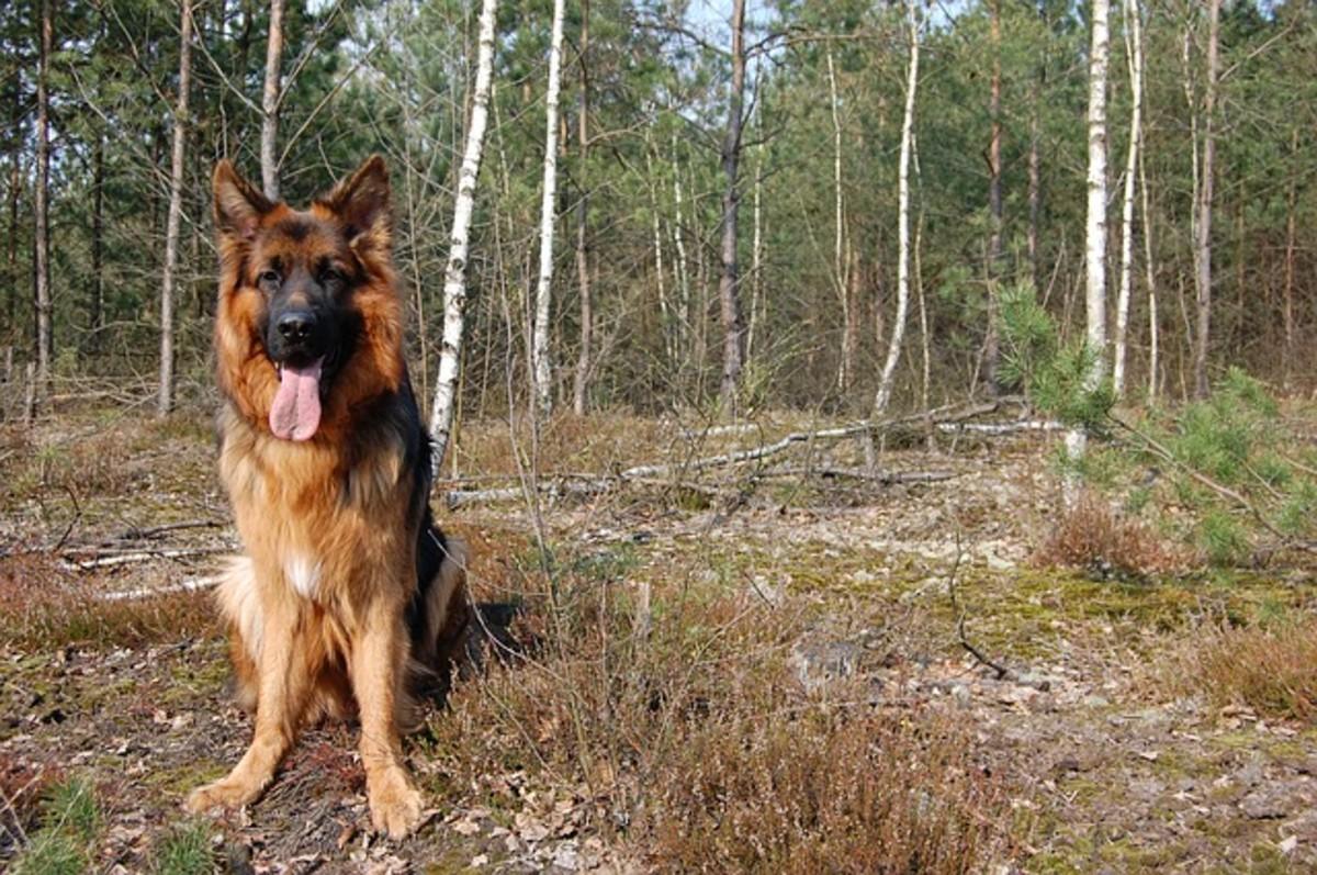 Types of German Shepherd Dogs