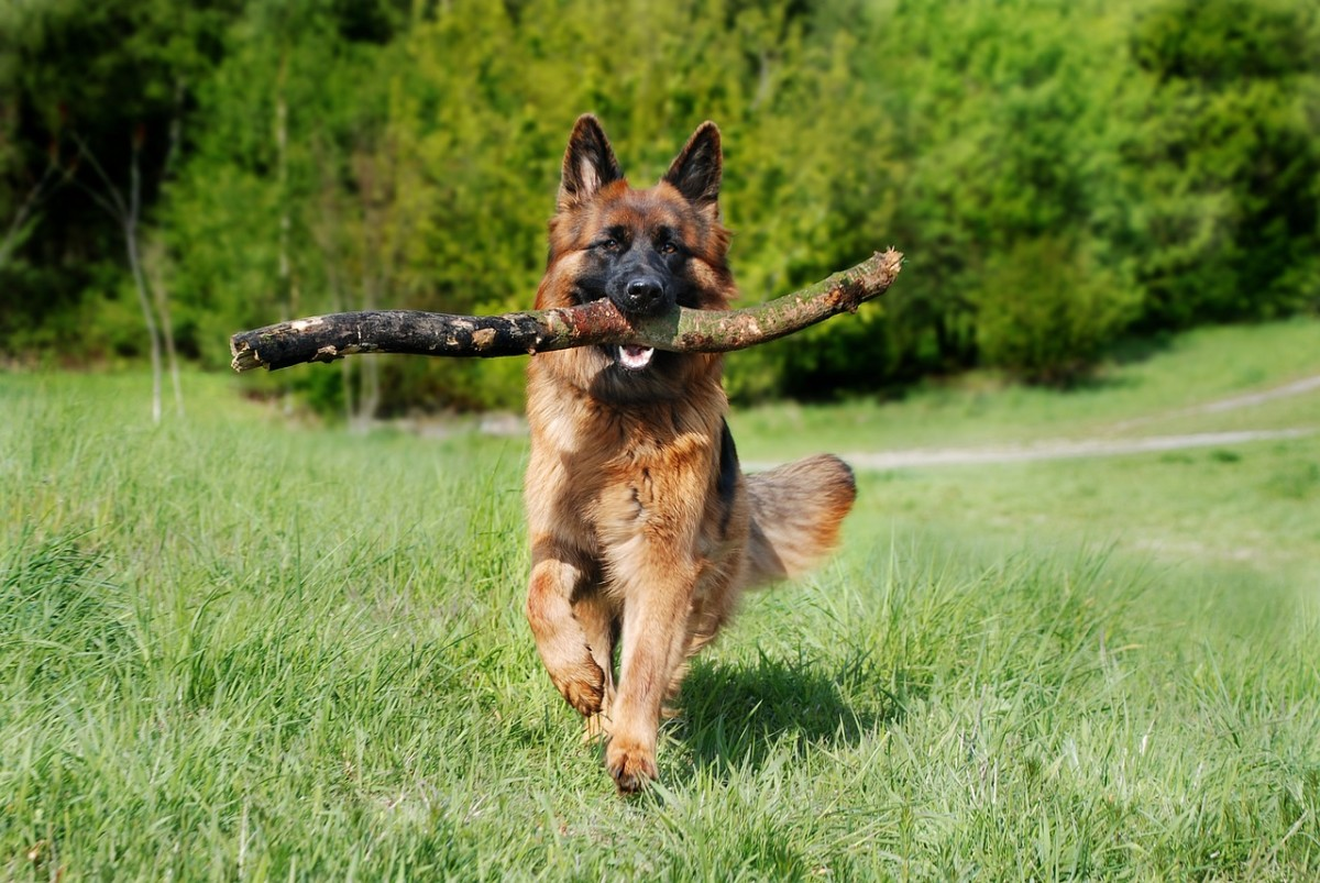 Preventing and Treating Worms in German Shepherds