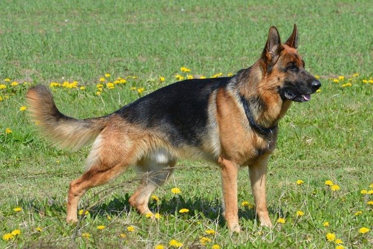The West German Shepherd Dog