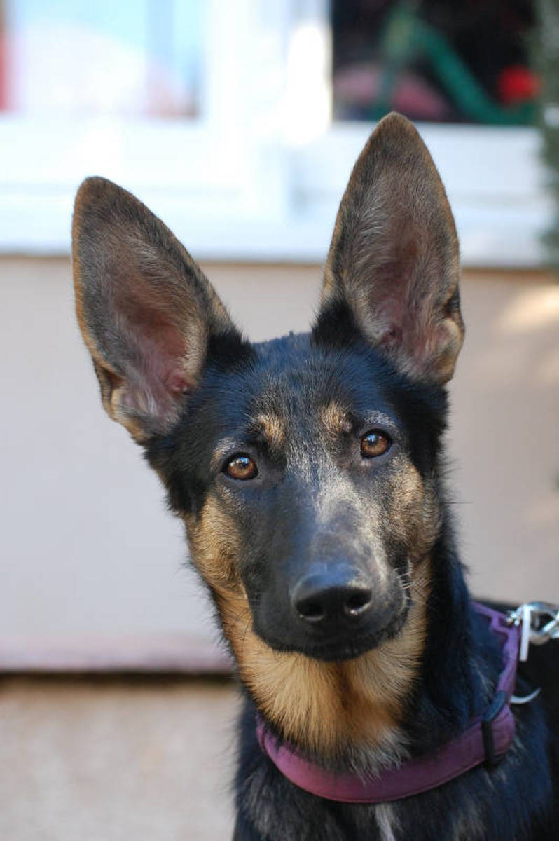 German Shepherd Ears Standing Up