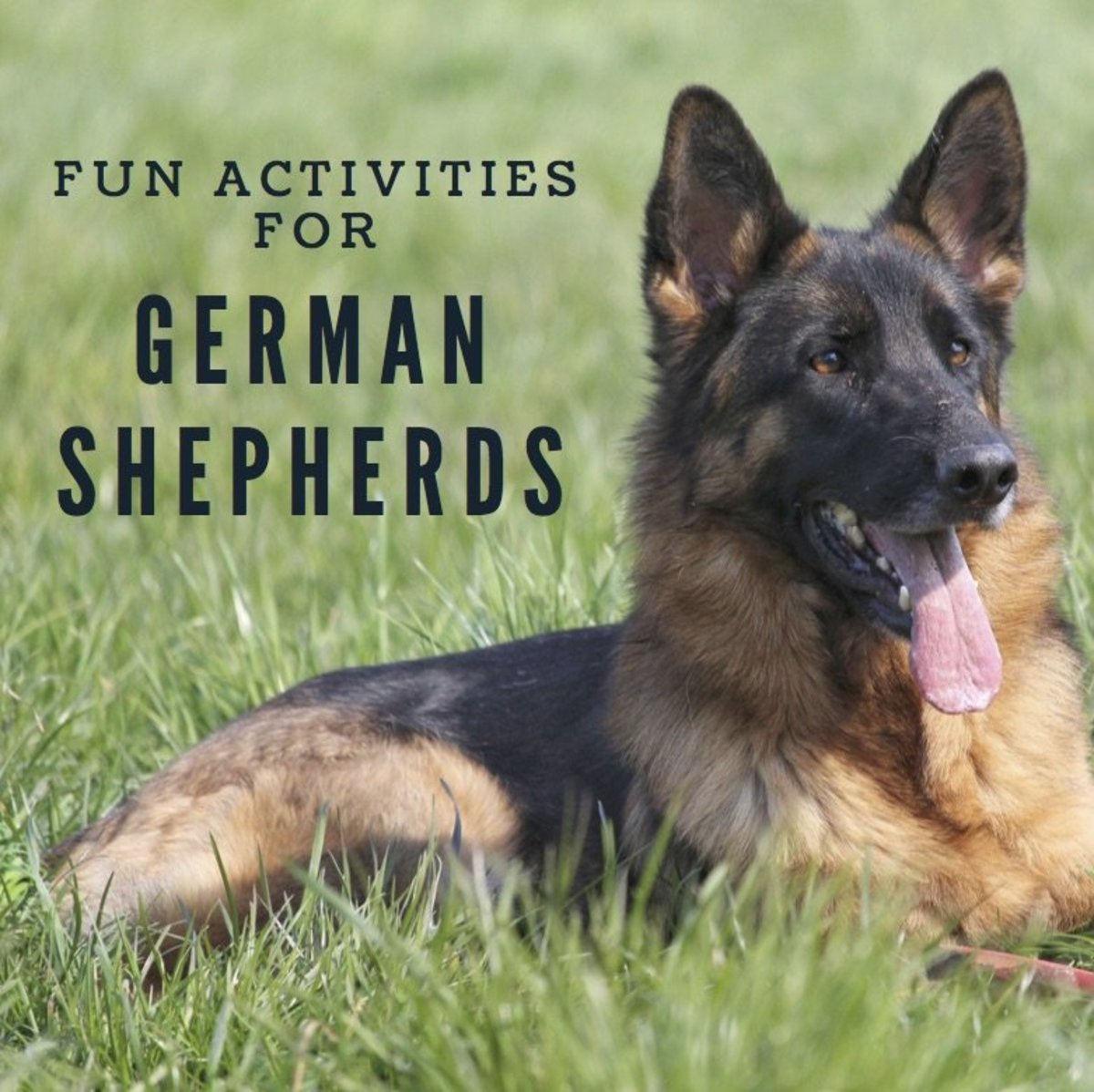 German Shepherds are happiest when kept busy.