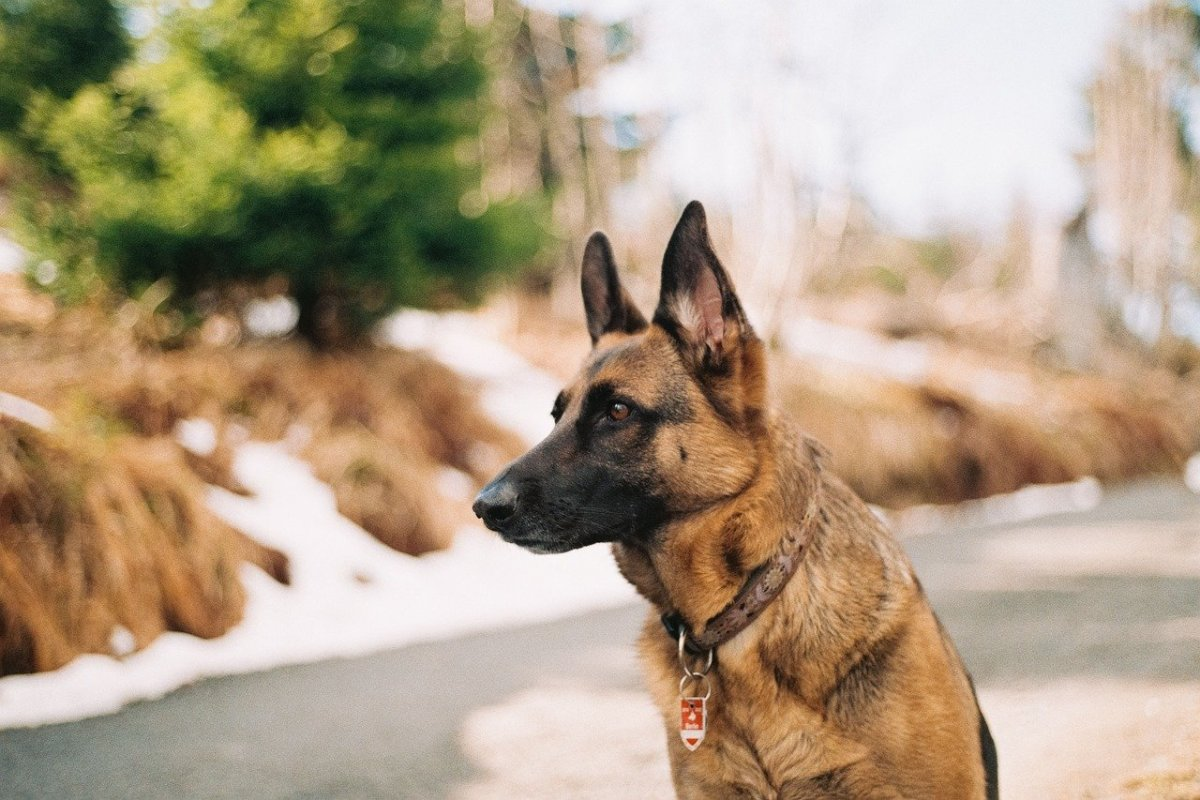 German Shepherd Bladder Stones and Urinary Tract Infections