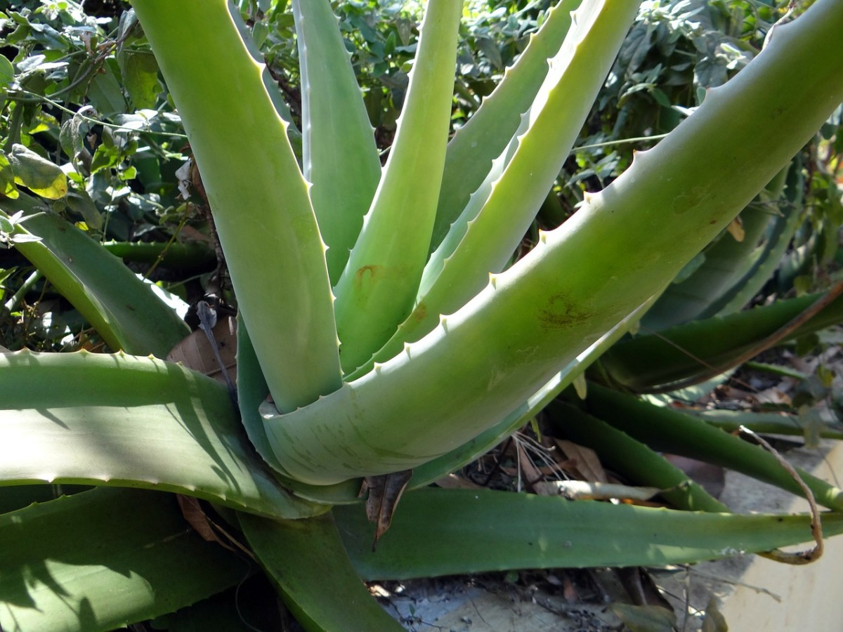 A full-grown aloe vera plant can grow up to 39 inches tall.