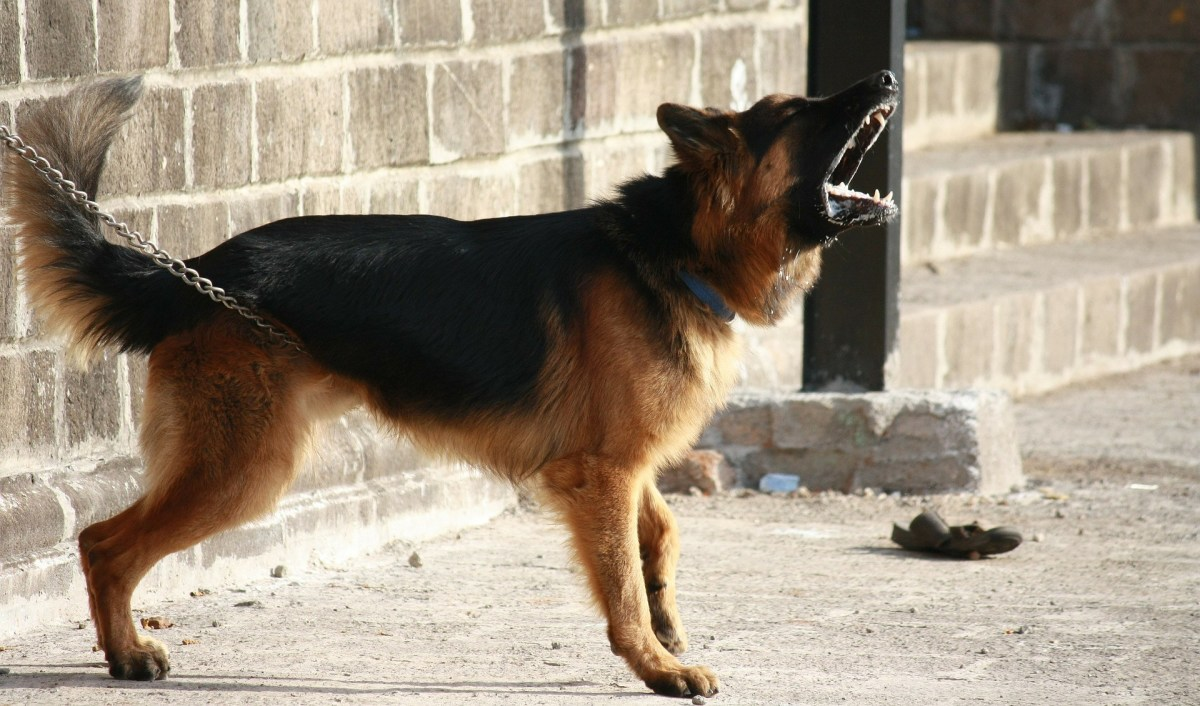 How to Teach a German Shepherd Not to Bark