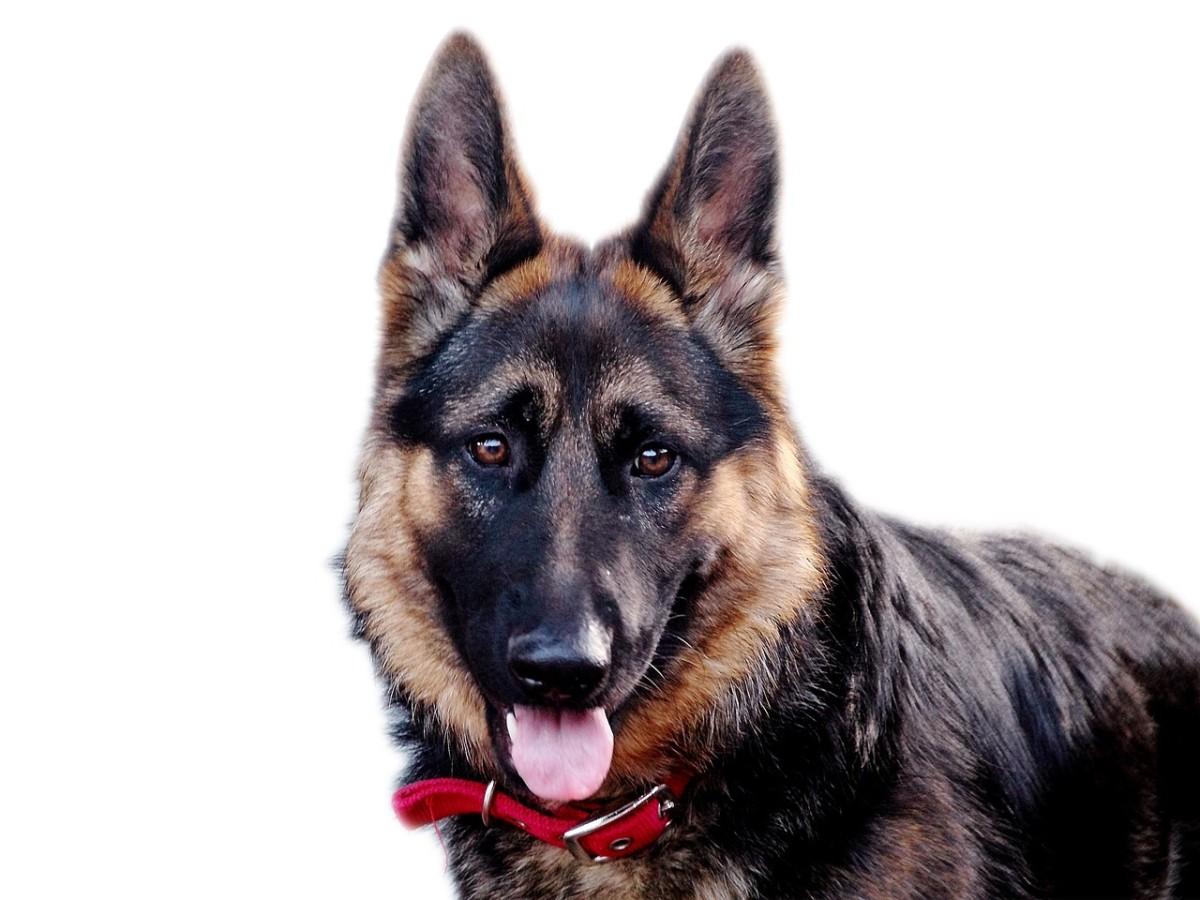 Combating Lice or Fleas on German Shepherd Dogs