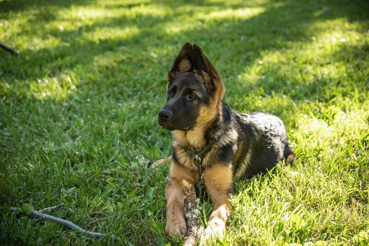 Adopting a German Shepard is a great way to save a life!